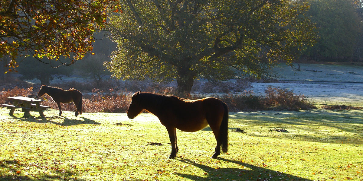 Horses in the new forest